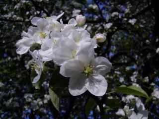 обои Цветущая яблоня фото