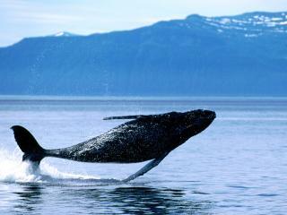 обои Breaching,   Humpback Whale фото