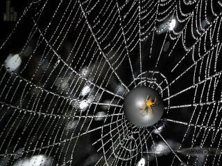 обои Желтый паук фото