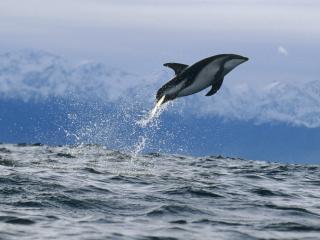 обои Dusky Dolphin,   New Zealand фото