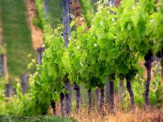 обои Поле винограда фото