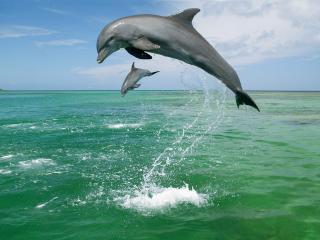 обои Bottlenose Dolphins,   Caribbean Sea фото