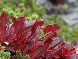 обои Какие-то странные красные листья фото