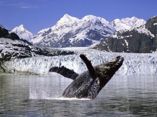 обои Humpback Whale,   Alaska фото