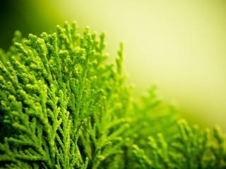 обои Вечнозелёные листья фото