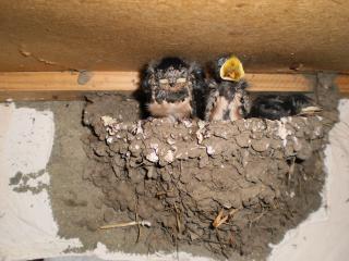 обои Птенцы ласточки в гнезде фото