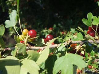 обои Ветка с плодами смородины фото