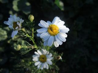 обои Лечеьные цветки ромашки обыкновенной фото