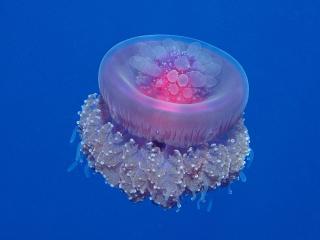 обои Crown Jellyfish фото