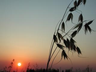 обои Полевой овес на фоне заката солнца фото