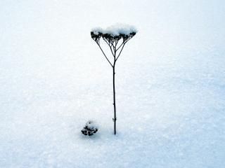 обои Укропный стебель покрытый снегом фото