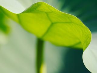 обои Листья цветов Кала фото