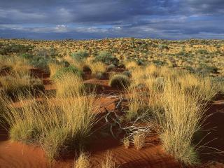 обои Spinifex Grass,   Little Sandy Desert,   Australia фото