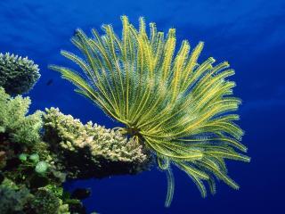 обои Crinoid on Coral Head,   Coral Sea фото