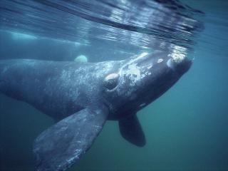 обои Southern Right Whale,   Gulfo Nuevo,   Peninsula Valdes,   Argentina фото