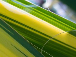 обои Кукурузные листья фото