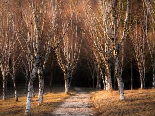 обои Березы осенью фото