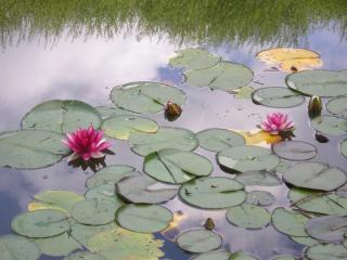 обои Цветущий лилиями летний пруд фото