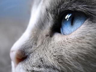 обои Голубой глаз кота фото