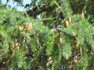 обои Грозди шишек на дереве фото