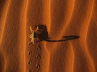 обои Shadow-Casting Scorpion,   Namib-Naukluft National Park,   Namibia фото
