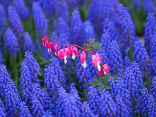 обои Bleeding Hearts Among Grape Hyacinths,   Keukenhof Gardens,   Lisse,   Holland фото