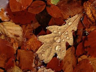 обои Английский дубовый лист в пруду, Шотландия фото