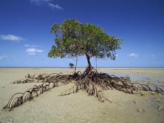 обои Mangrove Tree,   Daintree National Park,   Australia фото