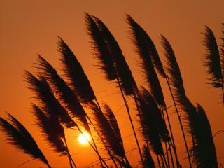 обои Осенняя пампасная трава на закате фото