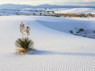 обои Soaptree Yucca Growing in Gypsum Sand,   White Sands National Monument,   New Mexico фото