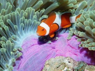 обои False Clown Anemonefish,   Similan Islands,   Andaman Sea,   Thailand фото