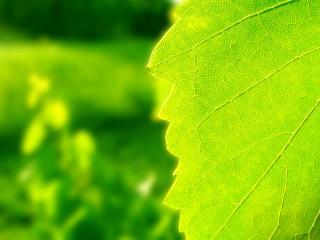 обои для рабочего стола: Яркий зеленый лист