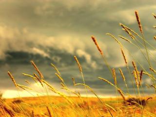 обои Золотистые колосья пшеницы фото