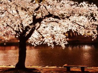 обои для рабочего стола: Пруд в весеннем парке у цветущего дерева, ночной пейзаж