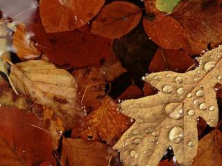обои Дождь на осенних листочках фото