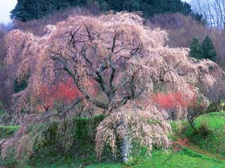 обои Весенняя цветущая сакура на холме фото