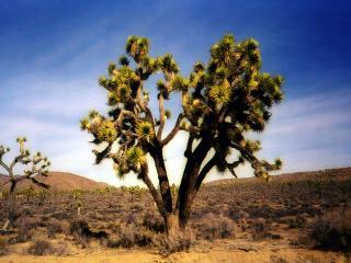 обои Дерево посреди пустыни фото