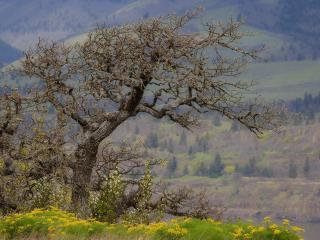 обои Весеннее цветущее дерево, Стейтли Ок,   ущелье реки Колумбия,   штат Орегон фото
