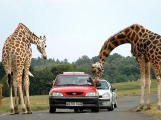 обои Жирафы и машины фото