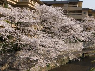 обои Дерево абрикоса весной фото