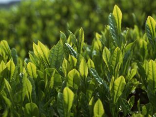 обои для рабочего стола: Зеленые листья чая