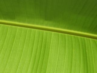 обои для рабочего стола: Лист растения, в котором содержится загадка