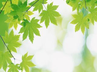 обои Крона листьев клена фото