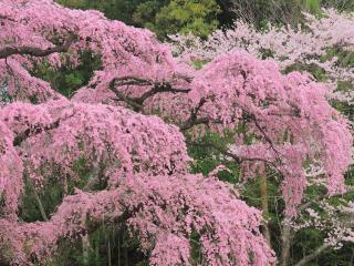 обои Свисающие ветки цветущей сакуры, весна фото