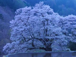 обои Цветущее весеннее дерево сакуры над прудом фото
