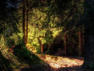 обои В хвойном лесу фото