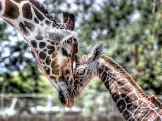 обои Влюбленные жирафы фото