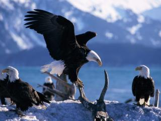 обои Wings Extended, Bald Eagles фото