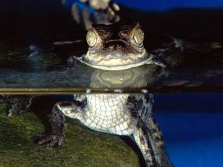 обои More Than Meets The Eye, Spectacled Caiman фото