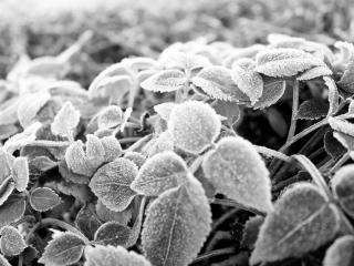 обои Замерзшие листья крапивы фото